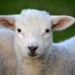 6 Things to Consider When Raising Sheep